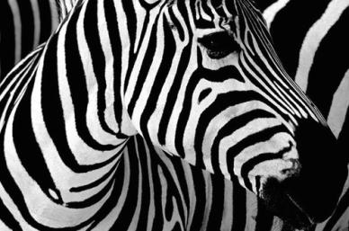 contrast-zebra